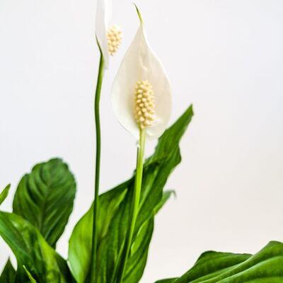 Barış Çiçeği - Spathiphyllum 50-70