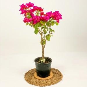 Fidan Burada - Baston Begonvil-Pembe Renkli-50-70 cm