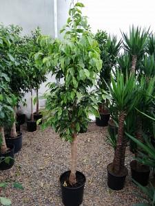 Baston Benjamin-Ficus Anastasia 120-140 Cm - Thumbnail