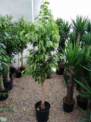 Baston Benjamin-Ficus Anastasia 120-140 Cm