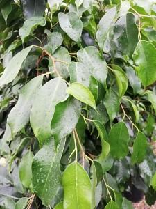 Baston Benjamin-Ficus Benjamina 120-140 Cm - Thumbnail
