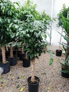 Fidan Burada - Baston Benjamin-Ficus Benjamina 120-140 Cm