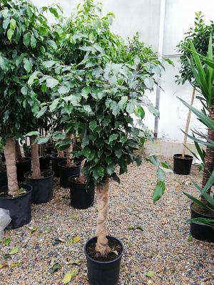 Baston Benjamin-Ficus Benjamina 120-140 Cm
