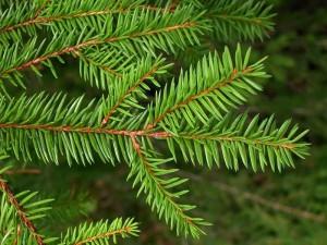 Fidan Burada - BATI LADİNİ FİDANI- Picea abies 50-60 Cm