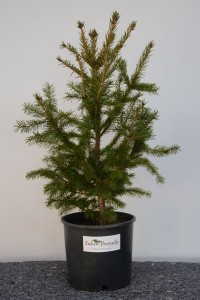 Fidan Burada - BATI LADİNİ FİDANI- Picea abies 30-40 Cm