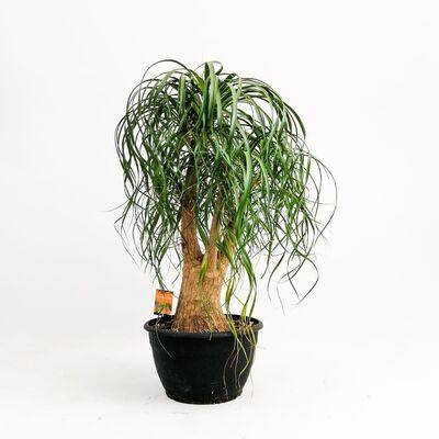 Beaucarnea Recurvata Nolina- Fil ayağı Bitkisi Çok Dallı- 80-100 cmİthal