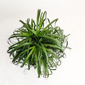 Beaucarnea Recurvata Nolina- Fil ayağı Bitkisi Çok Dallı- 80-100 cmİthal - Thumbnail