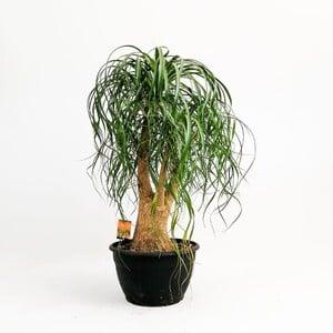 Fidan Burada - Beaucarnea Recurvata Nolina- Fil ayağı Bitkisi Çok Dallı- 80-100 cmİthal