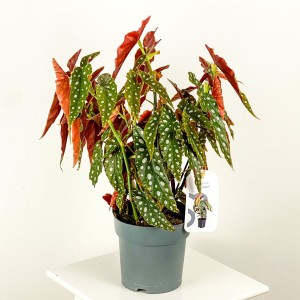 Fidan Burada - Begonia Maculata-Benekli Begonya Bitkisi-İthal 40-60cm