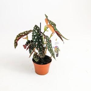 Ücretsiz Kargo - Begonia Maculata Wightii-Benekli Begonya Bitkisi