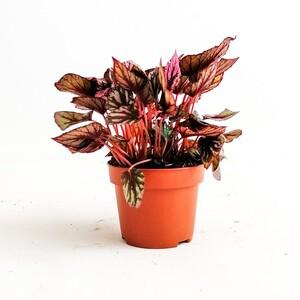 Fidan Burada - Begonia Rex Yaprak Güzeli 20 cm