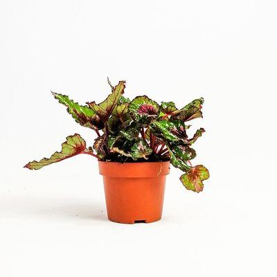 Begonia Rex Yaprak Güzeli 20 cm