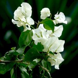 Fidan Burada - Begonvil Sarmaşığı-Beyaz (Bougainvillea)