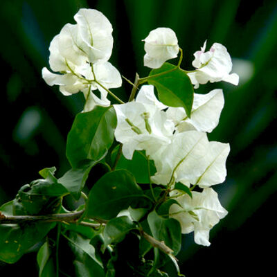 Begonvil Sarmaşığı-Beyaz (Bougainvillea)