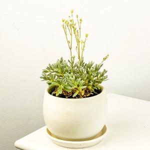 Fidan Burada - Beyaz Çiçekli Fare Kulağı - Curvy Beyaz Saksılı