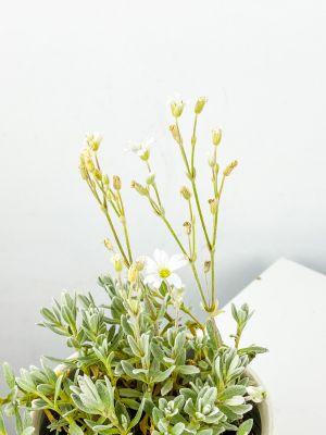 Beyaz Çiçekli Fare Kulağı - Curvy Beyaz Saksılı