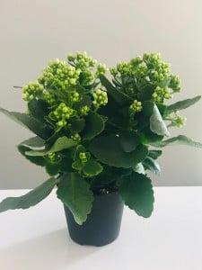 Fidan Burada - Beyaz Kalanşo Çiçeği Orta Boy-Kalanchoe