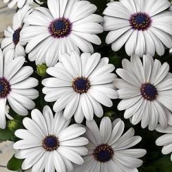 BODRUM PAPATYASI - (Osteospermum Ecklonis) - Thumbnail