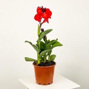 Fidan Burada - Bodur Kana Tesbih Çiçeği Kırmızı