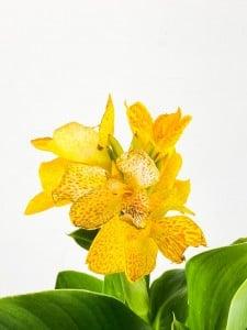 Bodur Kana Tesbih Çiçeği Sarı - Thumbnail