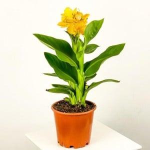 Fidan Burada - Bodur Kana Tesbih Çiçeği Sarı