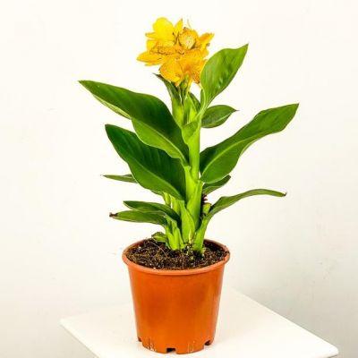 Bodur Kana Tesbih Çiçeği Sarı