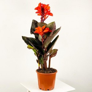 Fidan Burada - Bodur Kana Tesbih Çiçeği Turuncu