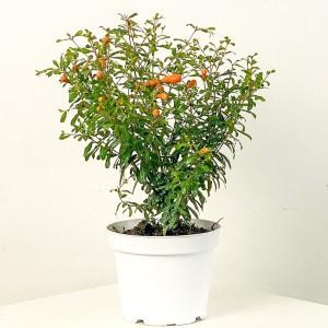 Fidan Burada - Bodur Süs Narı (Punica Granatum 'Nana') Bitkisi
