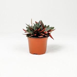 Bordo Zümrüt Dalgası Bitkisi-Peperomia Caperata Rosso - Thumbnail