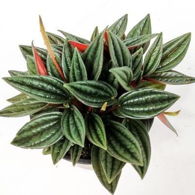 Bordo Zümrüt Dalgası Bitkisi-Peperomia Caperata Rosso