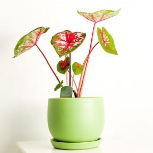 Fidan Burada - Caladium Carolyn Whorton Curvy Mint Yeşili Saksılı 40-60cm