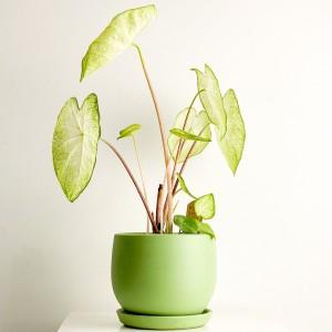 Fidan Burada - Caladium Garden White Curvy Mint Yeşili Saksılı 40-60cm