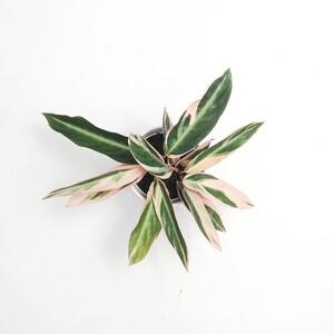 Kalatya-Calathea Triostar 20cm - Thumbnail