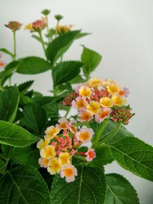 Çalı Minesi Lantana Çiçeği Beyaz-Lila