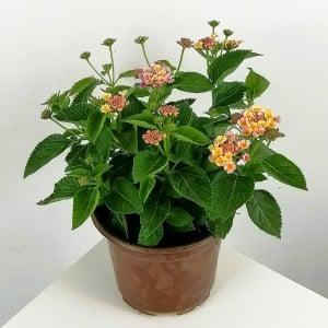 Fidan Burada - Çalı Minesi Lantana Çiçeği Beyaz-Lila