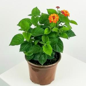 Fidan Burada - Çalı Minesi Lantana Çiçeği Sarı-Kırmızı