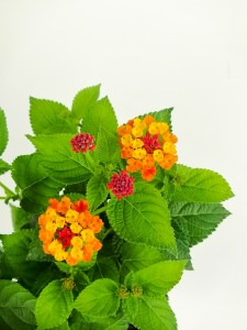 Çalı Minesi Lantana Çiçeği Sarı-Kırmızı - Thumbnail