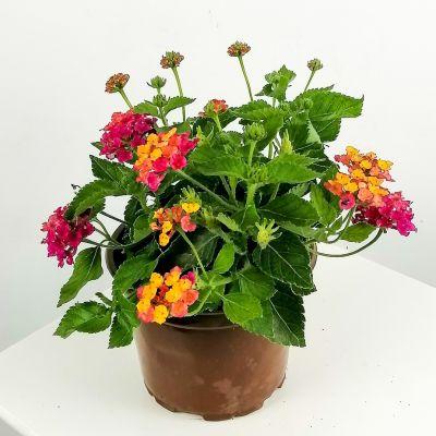 Çalı Minesi Lantana Çiçeği Sarı-Pembe