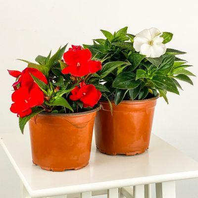 Cam Güzeli Çiçeği Seti Kırmızı-Beyaz
