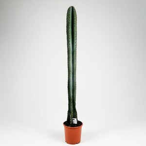 Fidan Burada - Cereus Peruvianus Forbesii Kaktüs 90-100 cm- İthal