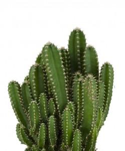 Cereus Peruvianus -Florida-Radrasyon Emici Kaktüs - Thumbnail