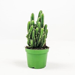 Fidan Burada - Cereus Peruvianus -Florida-Radrasyon Emici Kaktüs