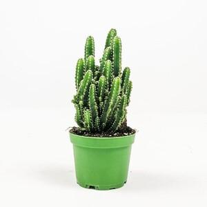 Ücretsiz Kargo - Cereus Peruvianus -Florida-Radrasyon Emici Kaktüs