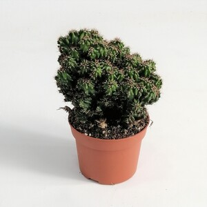 Cereus Peruvianus Monstrosus - Kaktüs - Thumbnail