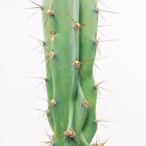 Cereus Peruvianus Peruvian 130-150 cm - Thumbnail