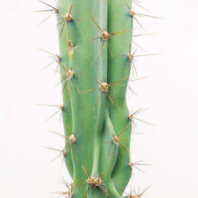 Cereus Peruvianus Peruvian 130-150 cm