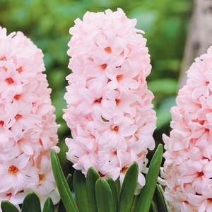 Fidan Burada - China pink Pembe Sümbül Çiçeği Soğanı-İthal-3 Adet