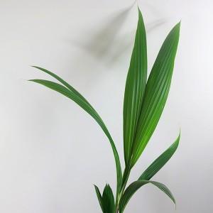 Cocos Palmiyesi-Cocos Nucifera 160-180 Cm - Thumbnail