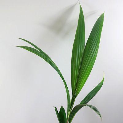 Cocos Palmiyesi-Cocos Nucifera 160-180 Cm