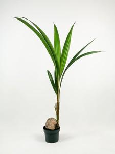 Fidan Burada - Cocos Palmiyesi-Cocos Nucifera 140 Cm